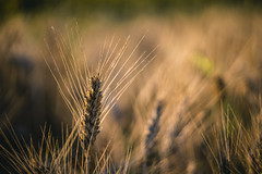 Wheat (Ákos Fekete) Tags: helios442 helios vintage vintageprime sony m42 summer summertime summerfeel 2015 july afternoon outdoors wheat field closeup sonyalpha6000 mirrorless emount ilce6000 milc csc evil nopeople yellow bokeh detail