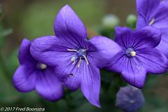 """In our garden, """"Platycodon grandiflorus"""" (A.J. Boonstra) Tags: platycodongrandiflorus ef100mmf28lmacroisusm canon70d canoneos canon plant garden flowers closeup macro eefde"""