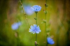 Wildflowers (Vic Zigmont) Tags: wildflowers blueflowers nikon