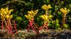 Sedum spathulifolium (robinnestridge) Tags: sedumspathulifolium