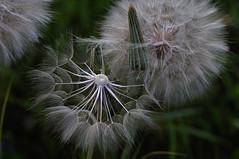 (4eye) Tags: 4eye polska poland dandelion