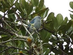DSCF9320 (Roberto Peña A.) Tags: pajaro ave volar libre aire pico azul azules plumas alas patas uñas retoque arbol hojas natural naturaleza valle colombia azulejo semillas ramas