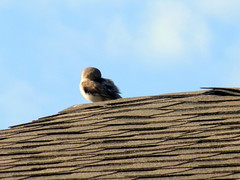 Bird Preening On The Roof. (dccradio) Tags: lumberton nc northcarolina robesoncounty outside outdoors nature natural bird sky bluesky clouds roof shingles morning goodmorning preen preens preening