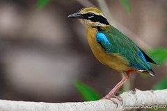 Indian Pitta (jaidevsinhrathod) Tags: indian pitta colourful bird biggest birdinaction birds national gujarat jaidevsinhrathod jamnagar jaidevsinh ninecolours beak wings yellow green blue red purple creative branch wildlife save nature wildilfe life india indias body