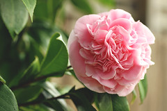 Pink camellia (Julia_Kul) Tags: attractive background beautiful beauty bloom blooming blossom botanical botany bright camelia camellia closeup color colorful design detail evergreen flora floral flower fresh garden gardening green isolated landscaping leaf light love natural nature petal pink plant pretty red rose shrub spring summer texture tree valentine white wild winter