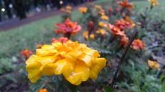 Yellow flower (emanuelzalazar) Tags: 黄色 花 公园 下雨 雨滴 park flower amarillo yellow flor parque lluvioso lluvia rain rainy