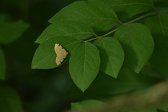 unidentified brown/tan butterfly (turn off your computer and go outside) Tags: 2017 albanywildlifearea greencounty june sugarriverstatetrail wi wisconsin latespring nature niceweather outdoors partlycloudy