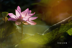D66_0018 (brook1979) Tags: 台北市 植物園 荷 蓮 荷花 蓮花 葉 花 lotus flower