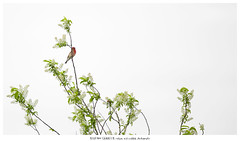 A guaranteed sighting (Stefan Gerrits aka vanbikkel) Tags: canon5dmarkiii canonef500mmf4lisiiusm nature wildlife vanbikkel finland kaarina rauvolanlahti rosefinch commonrosefinch carpodacuserythrinus roodmus punavarpunen