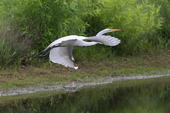 Great Egret in Flight (Scott Alan McClurg) Tags: aalba ardea ardeidae flickr animal back backyard bird bluesky flap flapping flight fly flying greategret land landing life nature naturephotography neighborhood portrait spring suburban urban white wild wildlife