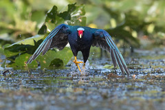 100M Dash (PeterBrannon) Tags: bird flight florida nature polkcounty porphyriomartinica purplegallinule sprint swamphen wildlife