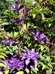 Naperville, IL, Purple Clematis Flowers (Mary Warren (8.7+ Million Views)) Tags: napervilleil nature flora plant purple green blooms blossoms flowers clematis