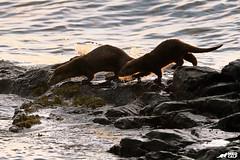 Back to the Water (birdtracker) Tags: otter mull scotland water loch rocks sea seaweed backlight darkbackground