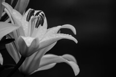 Black & White Lily (Painted Horizons) Tags: bw blackandwhite lily flower flowers monochrome nature macro outdoors adelmanpeonygardens oregon garden