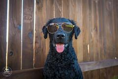 23/52 Nemo (- Una -) Tags: 52weeksfordogs nemo curly curlycoatedretriever ccr retriever curlydog dog animal blackdog blackcurlycoatedretriever texas