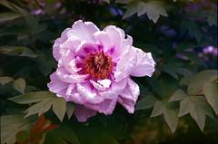 Garden flower (threepinner) Tags: flower garden mikasa hokkaidou hokkaido northernjapan japan summer pentax pentaxm 50mm f17 negative iso100 selfdeveloped reversal negaposidevelopment 三笠 北海道 北日本 日本
