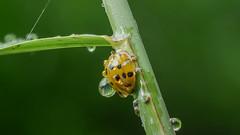 Frisch geduschter Marienkäfer / Freshly showered ladybirds (Oerliuschi) Tags: marienkäfer wassertropfen schilf natur makro heliconfocus stacking panasonic lumixgx80 olympusm60 ladybird ladybug