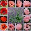 Wir glaub'n an den allmächt'gen Gott (amras_de) Tags: mohn poppy mák valmue papaver unikot pavot aguona klaproos valmuer mak vallmosläktet blüte blume flor cvijet kvet blomst flower floro õis lore kukka fleur bláth virág blóm fiore flos žiedas zieds bloem blome kwiat floare ciuri flouer cvet blomma çiçek