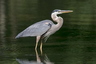 Great Blue Heron © (explored)