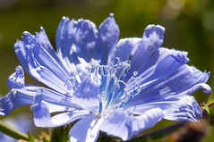 Common chicory. Wilde Chicorei. 003. (George Ino) Tags: copyright georgeino georgeinohotmailcom thenetherlandshollandnederland utrecht blauw blue bleu flower bloem detail chicorée radicchio zichorienwurzel wildecichorei middellandsezeegebied cichoriumintybus commonchicory plant greece roman italy india ngc