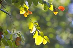 only the light moves (1crzqbn) Tags: snowbush sunlight bokeh shadows light flora dof depthoffield green