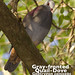 Gray-fronted Quail-Dove, Geotrygon caniceps