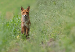 Red Fox (Wouter's Wildlife Photography) Tags: redfox fox vulpesvulpes animal mammal predator nature naturephotography wildlife wildlifephotography billund ræv pattedyr