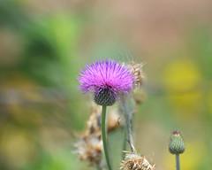 Open and Shut (sundero) Tags: thistle texas westtexas purple flower