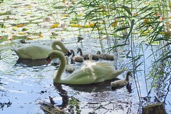 im Villenhofer Maar (mama knipst!) Tags: schwan swan wasservogel bird tierkinder villenhofermaar natur juni