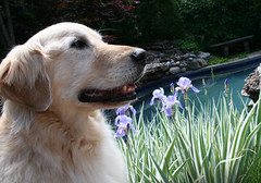 Sunny 23/52 (Lianne (calobs)) Tags: 52 weeks for dogs goldenretriever