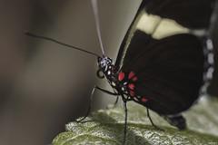 Butterfly (Strange Artifact) Tags: olympus em10 markii 60mm f28 mzuiko digital ed kleincostarica