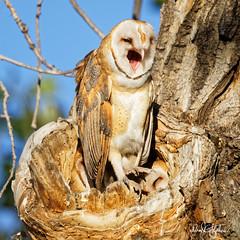 "I Just Can't Stop Laughing! (dcstep) Tags: treehole owl owlet barnowl perched commercecity colorado unitedstates us barrlakebarrlakestateparkcanon5dmkivef500mmf4lisiief20xtciii1 000mmhandheldallrightsreservedcopyright2017davidcstephensdxoopticspro114naturebird 1000mm handheld ""all rights reserved"" ""copyright 2017"" ""david c stephens"" ""dxo optics pro 114"" nature bird n7a0464adxo ecoregistrationcase15586202651"
