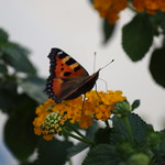 Schmetterling thumbnail