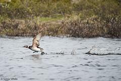 Long-tailed duck I Golnes Finnmark Norway (sonjasiltala) Tags: havelle alli longtailedduck clangulahyemalis golnes gakori kaakkurijärvi