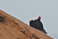 Jote Cabeza Colorada / Turkey vulture (Cathartes aura) (Javiera C) Tags: arica anzota cuevasdeanzota jote jotecabezacolorada turkeyvulture cathartesaura ave animal bird fauna wildlife dark naturaleza nature costa coast beach playa mar sea ocean océano carroñero