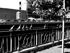 PIGEONS - BIRDS - DES OISEAUX Sky City No People Day SHAKURNTM Belgium. Belgique. Belgie. Belgien. Etc. Charleroi, Belgium Pigeon Bird  Pigeons Everywhere Pigeon Point  Pigeon Pigeonslife Outdoors Bird Photography Birds Of EyeEm  Birds_collection Black An (SHAKURNTM) Tags: sky city nopeople day shakurntm belgiumbelgiquebelgiebelgienetc charleroi belgium pigeonbird pigeonseverywhere pigeonpoint pigeon pigeonslife outdoors birdphotography birdsofeyeem birdscollection blackandwhite blackandwhitephotography