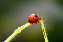 Bug (Amir H zah2) Tags: bug ladybug insect serangga kepik macro nikon