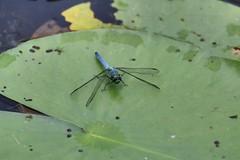 eastern pondhawk, Erythemis simplicicollis, Bucks county, PA (jimbop22001) Tags: insecta odonata insect dragonfly easternpondhawk erythemissimplicicollis