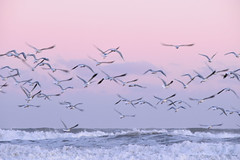 Sunset flight (luenreta) Tags: gaviotas sunset sea beach pink 7dwf landscape