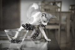 theft in progress (Uniquva) Tags: sphynx cat grapes