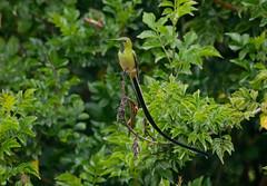 Black-tailed Trainbearer --- Lesbia victoriae (creaturesnapper) Tags: ecuador southamerica puembo hummingbirds birds blacktailedtrainbearer lesbiavictoriae