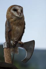 Lookout post (Milena Galizzi) Tags: owl animal nature night medieval wisdom wise barn predatory bird prey