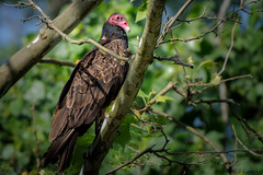 RedHead (soupie1441) Tags: london ontario canada nikon d7200 bird animal nature wildlife turkey vulture perched tree nikkor 200500mm
