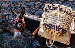 Burro en Taucho (RuthRodriguezTF) Tags: taucho tenerife sur islas canarias canary islands folk tradition tradición folklore típico canario canaria burro asno donkey adeje