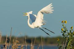 Egret Lift Off (Osprey-Ian) Tags: aransasnwr greategret texas