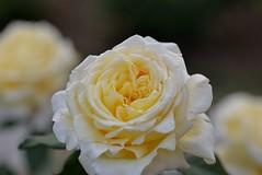 Rose 'McGredy's Yellow' raised in North Ireland, UK (naruo0720) Tags: rose englishrose mcgredysyellow bredbymcgredy englishrosescollection バラ イギリスのバラ イギリスのバラコレクション マグレディースイエロー マグレディーのバラ macro bokeh マクロ ボケ