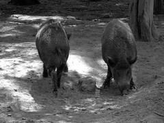 Both sides (François Tomasi) Tags: monochrome blackandwhite noiretblanc sanglier françoistomasi yahoo google flickr lights light lumière photo photoshop photographie photography reflex nikon nature forêt bois arbres arbre campagne touraine indreetloire france europe composition angle sauvage animal wild boar pointdevue pointofview pov juin 2017 animaux