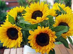 Sonnenblumenstrauß zum Sonntag (magritknapp) Tags: sonnenblumen vase tisch sunflower table de tournesol florero la tabla girasol tabela vaso girassol girasole tabella