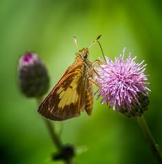 Sweetness 'n Life (Portraying Life, LLC) Tags: dbg6 da3004 hd14tc k1 michigan pentax unitedstates butterfly closecrop handheld nativelighting skipper ricoh wetland sedge fen