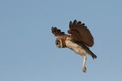 Burrowing owl (jlcummins - Washington State) Tags: burrowingowl owl bird fauna wildlife nature adamscounty washingtonstate